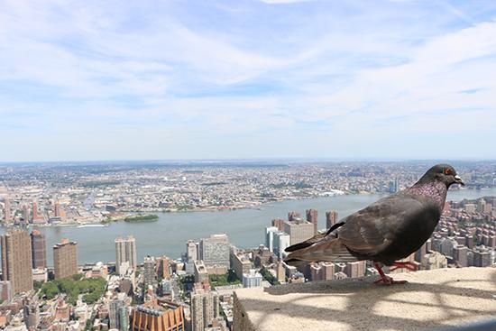 empire-pigeon