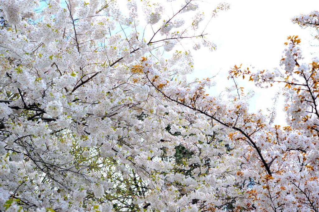 ニューヨークの桜