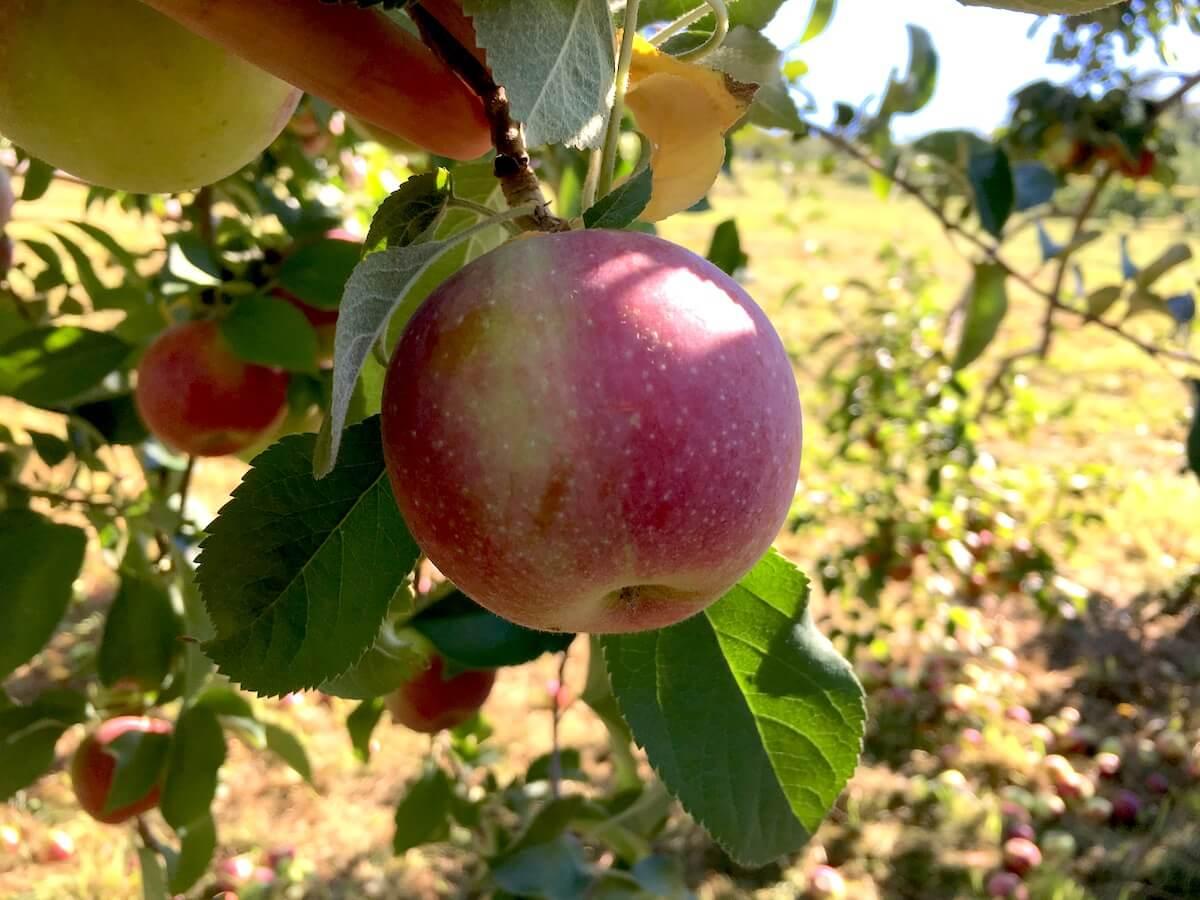 ニューヨーク リンゴ狩り