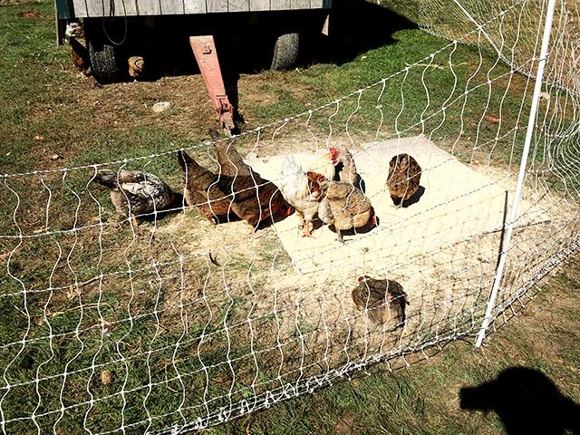 鶏もいるよ